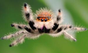 Подскакивающий павук, характеристика, опис і фото.