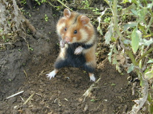 Hamsters breed description Ciscaucasian, photo type, characteristic