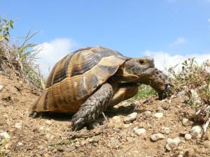 Опис середземноморської черепахи, фото вигляду, характеристика породи.