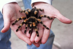 Description Tarantula spider species, characteristics, photos