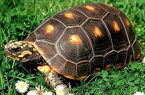 Угольная (красноногая) черепаха, содержание в домашних условиях, уход, описание и фото.