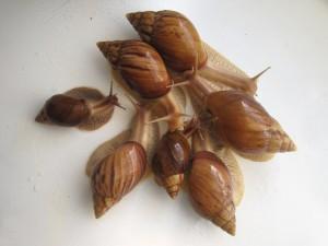 Улитка породы ахатина иммакулята, содержание, описание и фото.