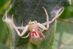 Описание пауков-крабов (бокоход), характеристика вида, фото, опасность.