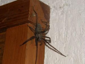 Описание пауков вида Домовой (комнатный), фото, характеристика.