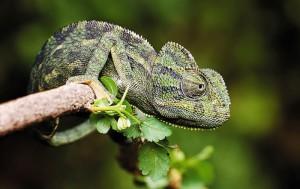Европейский хамелеон, характеристика, описание и фото.