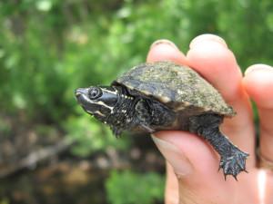 Описание мускусной черепахи, фото породы, характеристика.