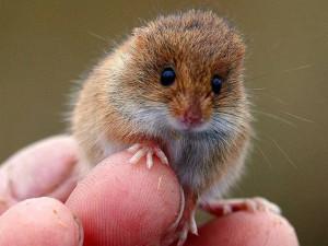 Описание карликовой мыши породы Малютка, фото.