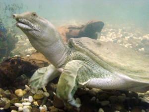 Опис черепахи виду Китайський тріонікс, характеристика породи, фото.