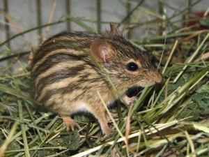 Description Zebra mice breed characteristics, photos
