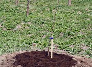 молоді яблуні - догляд та садівництво