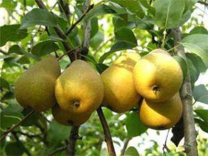 How to plant a pear tree near the house