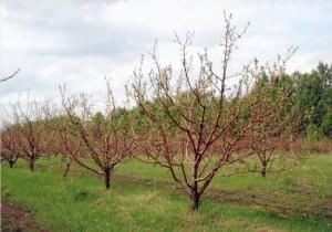 як правильно посадити саджанець яблуні - поради початківцю садівнику.