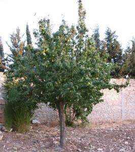 груша догляд та вирощування, посадка груші на земельній ділянці біля будинку