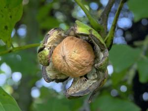 як посадити та виростити вдома волоський горіх
