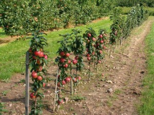 The placing of apple trees in the orchard.