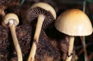 Картинка психоделічного гриба гнойова лисина