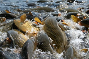 домашній ставок розведення риби, будівництво водойми для розведення риби, розведення риби в штучних басейнах