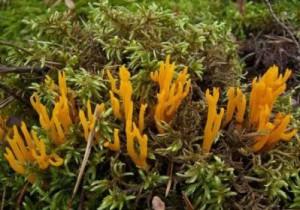 Гриб несъедобный калоцера клейкая (Calocera viscosa) - описание и картинки гриба