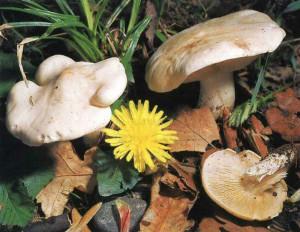 Съедобный гриб Калоцибе майский, Георгиев гриб, рядовка майская или майский гриб, описание и фото, где найти майский гриб