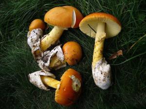 Съедобный цезарский гриб фото, как выглядит цезарский гриб. Где можно найти гриб цезарский, описание.
