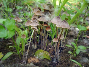 Гриб неїстівний коноцибе фото і опис неїстівних та отруйних грибів. Картинки грибів отруйних для батьків і дітей.