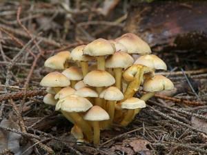 Гриб опеньок сірчано-жовтий, помилковий опеньок фото і опис отруйних і неїстівних грибів з назвами. Картинки отруйних грибів для дітей і батьків.