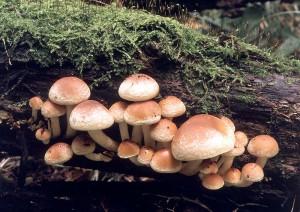Неїстівний гриб опеньок цегляно-червоний фото і опис неїстівних грибів. Як виглядає помилковий опеньок літній.