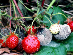 Как лечить болезни земляники садовой. Вредители земляники, как лечить и бороться с вредителями, болезнями.