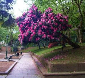 Квітка рододендрон дерево садовий, догляд та вирощування в домашніх умовах. Як виростити рододендрон на зиму.
