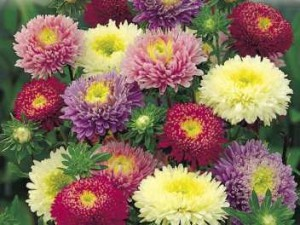 Догляд за айстрами, посадка та вирощування багаторічних і однорічних видів Айстр в домашньому саду своїми руками. Фото квітів айстр, як виглядають.
