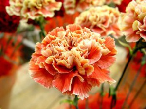 Гвоздика, уход и выращивание из семян в домашних условиях. Выращивание цветов гвоздики дома на даче или в теплице. Уход за гвоздикой.