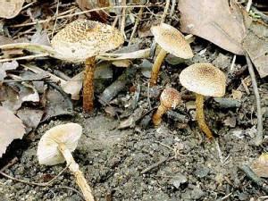 Отруйний гриб каштанова парасолька, фото і опис гриба.