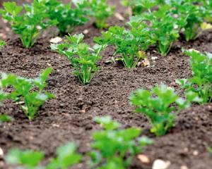 Петрушка корневая сладкая, выращивание дома в теплице или в открытом грунте. Как правильно выращивать петрушку из семян на даче. Технология.