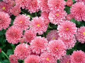 Догляд за хризантемами в горщиках в саду. Правильний догляд та вирощування квітів хризантеми біля будинку на дачі.