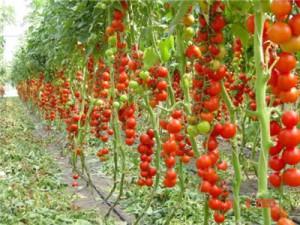 Догляд за помідорами, вирощування. Як правильно доглядати за помідорами. Як часто поливати помідори. Хвороби і лікування помідорів.