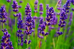 Выращивание травы лаванды в саду в домашних условиях. Лаванда лечебные свойства, масло, чай. Как вырастить лаванду дома на даче. Технология и условия.
