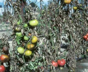 Болезнь помидоров фитофтора, чем обработать