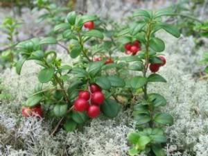 Рекомендация по выращиванию брусники дома на даче. Фото ягод, как правильно садить и поливать.