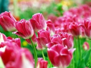 Интересные факты о тюльпанах. Сорта тюльпанов, история, как выглядят, фото.