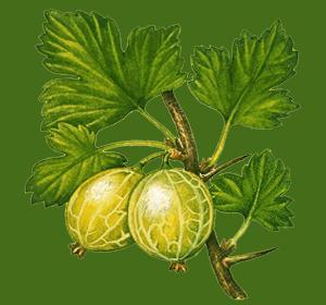 How to prune your gooseberries.