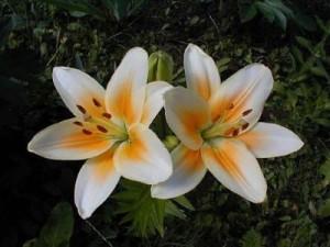 Как выращивать азиатские гибриды лилий в саду самостоятельно. Условия для выращивания. Как правильно ухаживать.