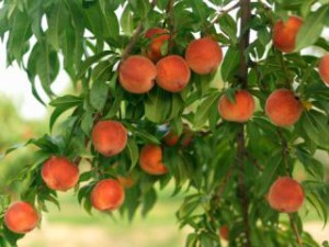How to Grow a Peach Tree.
