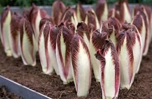 Салат цикорный витлуф, выращиваем дома га даче