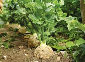 Як виглядає і що таке селера. Корисні властивості. Як правильно вирощувати на дачі навесні. Скільки поливати й удобрювати овоч.
