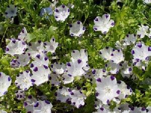 Немофіла, опис. Як правильно вирощувати квіти в саду на дачі. Поради, фото немофіли.