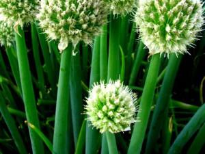 Цибуля-батун квітнева, вирощування навесні з насіння. Посадка й догляд, фото, опис.