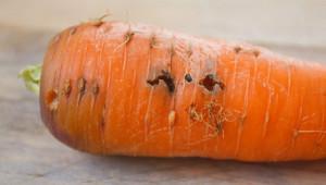 Боротьба з морквяною мухою, профілактика, народний засіб проти шкідника на грядці. Як захистити плід від личинок, всі способи.
