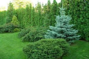 Ландшафтный дизайн хвойных растений, посадка и уход за кустарниками. Правильная схема, фото.