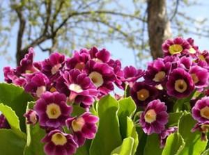 Гарна весняна квітка примула