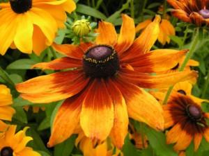 Гарна квітка, вирощування, догляд в домашніх умовах, фото, опис.